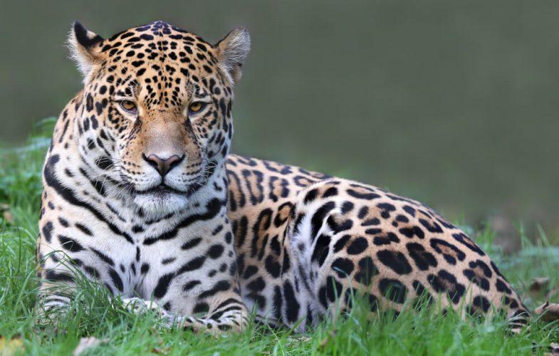 Onçafari no pantanal: prepare-se para momentos inesquecíveis